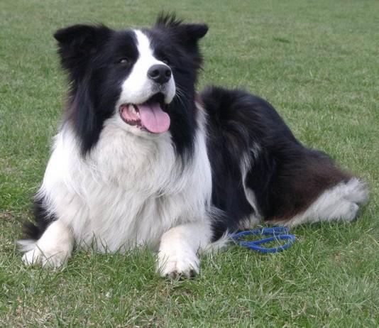 Il Border Collie e gli altri cani più intelligenti