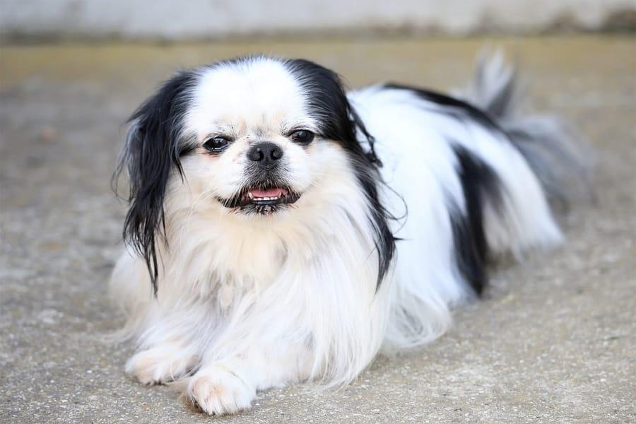 Il Chin, bel cane orientale