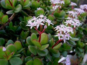 La Crassula ovata, una delle più resistenti piante da appartamento