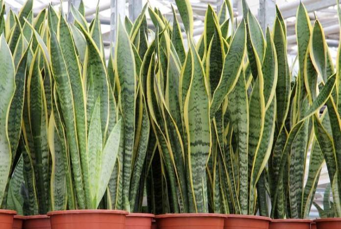 I nomi di cinque resistenti piante da appartamento - Nomi di piante da giardino ...