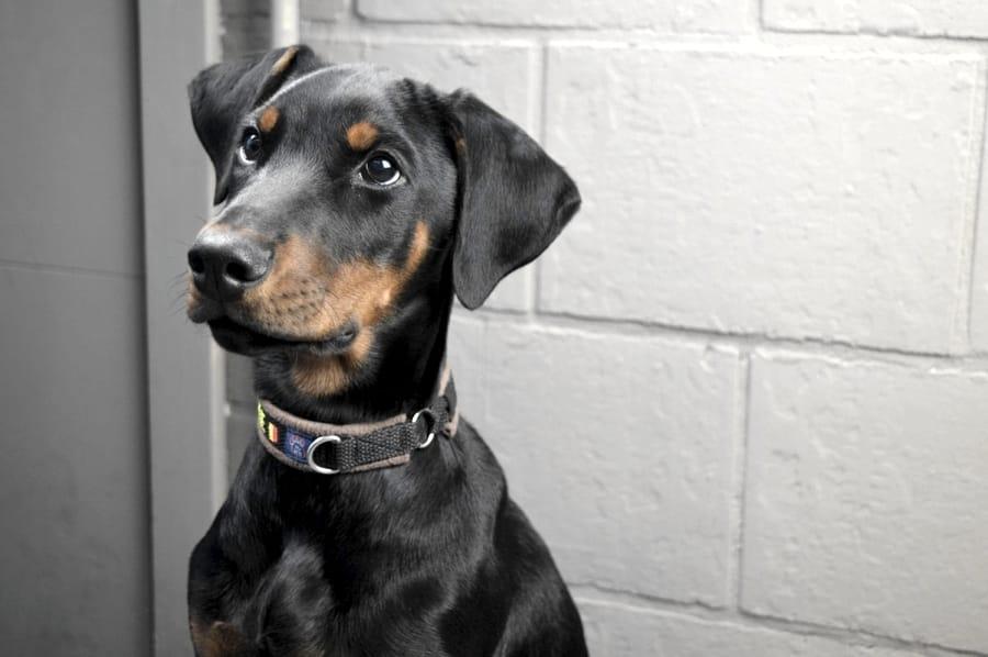 Alla scoperta del cane Dobermann