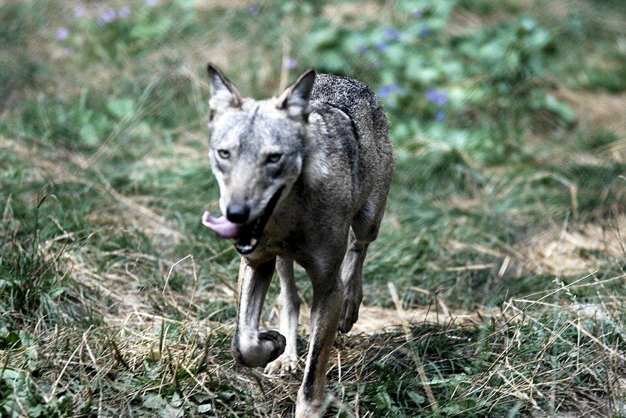 Il lupo appenninico (foto di Guido Mastrobono via Flickr)