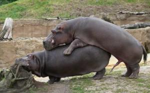 Come fanno sesso gli ippopotami