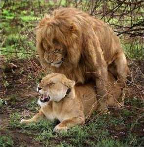 Come fanno sesso i leoni