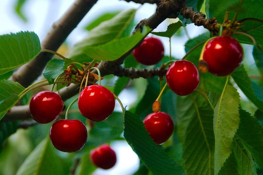 Le ciliegie aiutano anche in caso di crampi