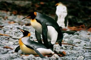 Come fanno sesso i pinguini