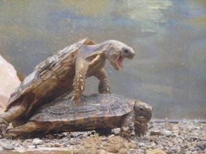 Come fanno sesso le tartarughe