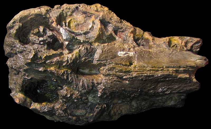 La premascella dell'Oxalaia (foto di Nekarius via Wikimedia Commons)