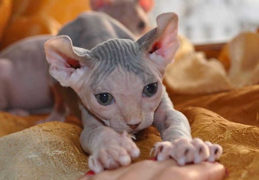 Il Gatto Elfo (foto di Kirimiti via Wikimedia Commons)