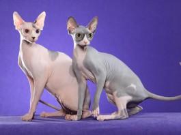 Due esemplari di Sphynx, la più celebre razza di gatti senza pelo