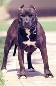 Il cane Pitbull
