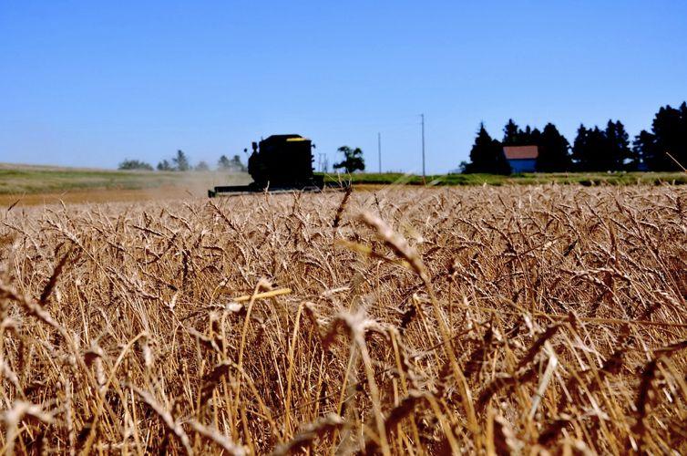 Un campo di grano in North Dakota