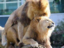 I leoni e gli altri animali omosessuali presenti in natura (foto di Rufus46 via Wikimedia Commons)