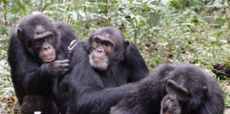 I bonobo, tra i più evoluti primati che manifestano pratiche omosessuali
