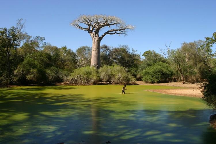 I baobab del Madagascar