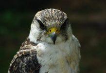 Il Falco pellegrino, l'animale più veloce del mondo