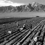 Fattoria, contadini, Monte Williamson, sullo sfondo campo di concentramento di Manzanar, California, foto scattata da Adams durante la Seconda guerra mondiale cercando di mostrare il contributo positivo dei nippo-americani