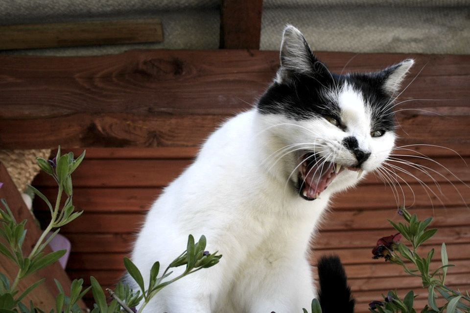 Il miagolio dei gatti in calore può essere fastidioso