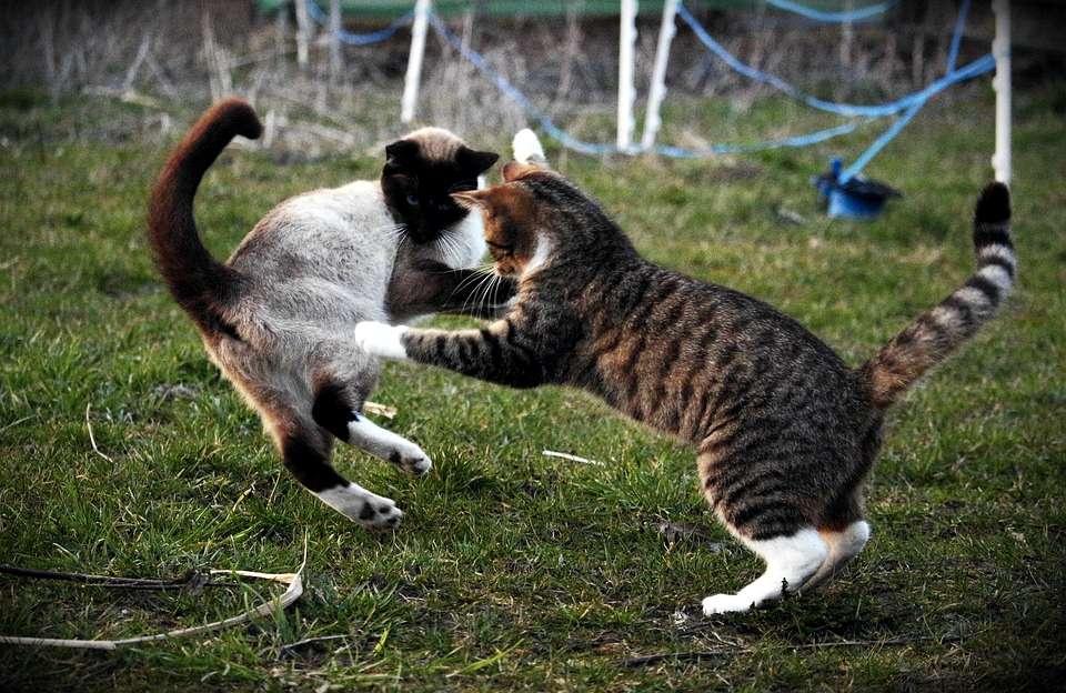Un duello all'ultimo sangue tra gatti