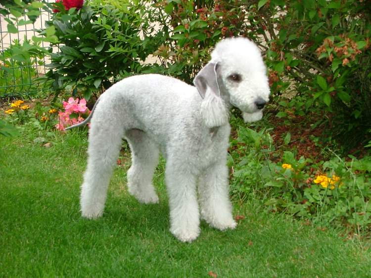 Un longevo Bedlington Terrier fotografato da David Owsiany via Wikimedia Commons