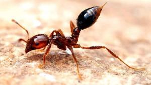 Le terribili formiche di fuoco
