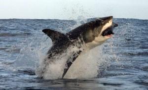 Gli squali sanno essere anche incredibilmente agili