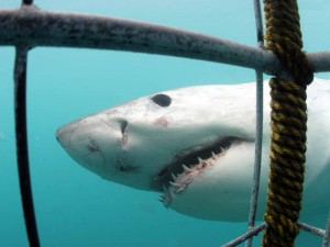 Gli squali amano essere prudenti, con le loro prede