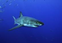 Uno squalo bianco in tutta la sua maestosità