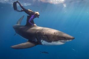 In genere, lo squalo bianco non attacca l'uomo (con qualche eccezione)