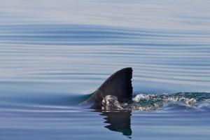 Il particolare meccanismo di galleggiamento dello squalo