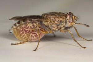La mosca tse-tse, uno degli insetti più pericolosi del mondo