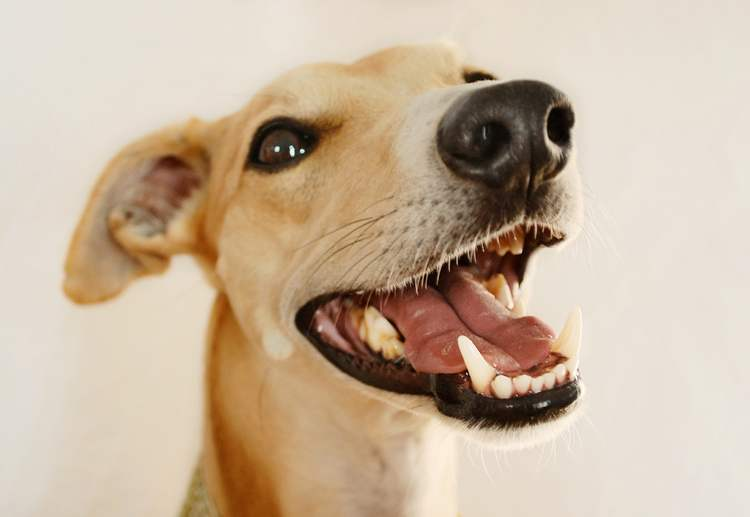 Un Whippet mostra i denti in una foto di Brambleberries via Wikimedia Commons