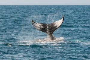 La coda di una balena che si allontana nel mare
