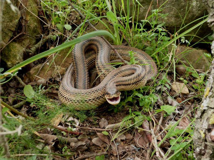 Cinque tra i pi grandi e pi lunghi serpenti del mondo for Cervone serpente