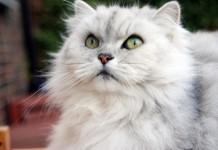 Un gatto chinchilla dal pelo molto folto (foto di Allen Watkin via Wikimedia Commons)