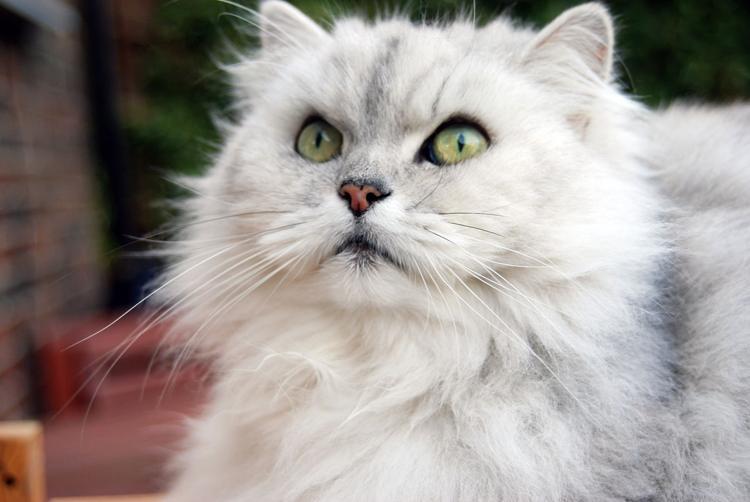 Cinque Sorprendenti Razze Di Gatti A Pelo Lungo Cinque Cose Belle