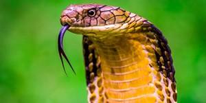 Un cobra reale in una suggestiva immagine