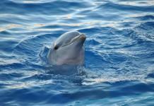 I delfini sono da sempre considerati tra gli animali più intelligenti del pianeta, cosa che è in un certo senso anche la loro rovina