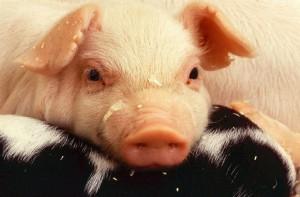 Pochi pensano che i maiali siano intelligenti, ma in realtà sono tra i più acuti animali presenti sulla Terra