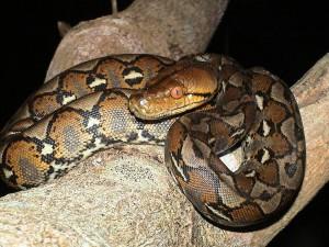 Il pitone reticolato, un serpente lungo e letale