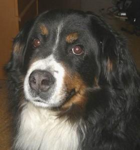 Il Bovaro del Bernese (foto di Compak via Wikimedia Commons)
