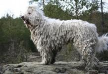 L'originalissimo cane Komondor, uno dei cani grandi più voluminosi (foto di Kari via Wikimedia Commons)