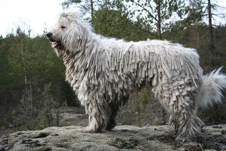 L'originalissimo cane Komondor (foto di Kari via Wikimedia Commons)