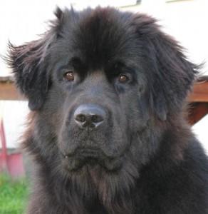 Il Terranova, un prodigioso cane-bagnino (foto di Danper65 via Wikimedia Commons)
