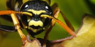 Testa di vespa molto ingrandita (foto di Zavidos via Wikimedia Commons)