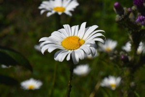 Il fiore di camomilla