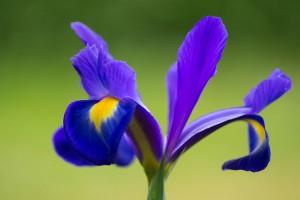 Un bell'esemplare di iris