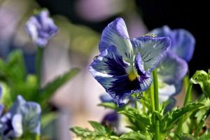 La viola del pensiero, un fiore dal significato molto particolare