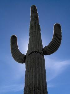 Il Saguaro dell'Arizona