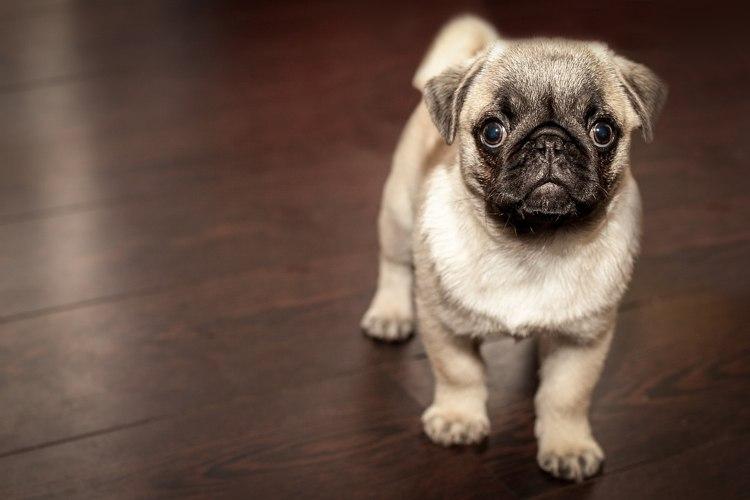 Scopriamo cinque motivi per amare un cane Carlino